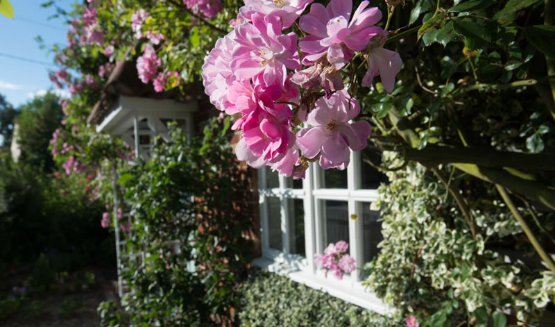pretty roses at Dreadnought holiday cottage