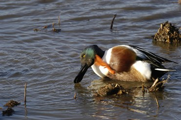 Shoveller Duck, RSPB Minsmere, Suffolk Coast