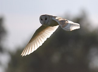 Barn Owl, RSPB Minsmere, Suffolk Coast